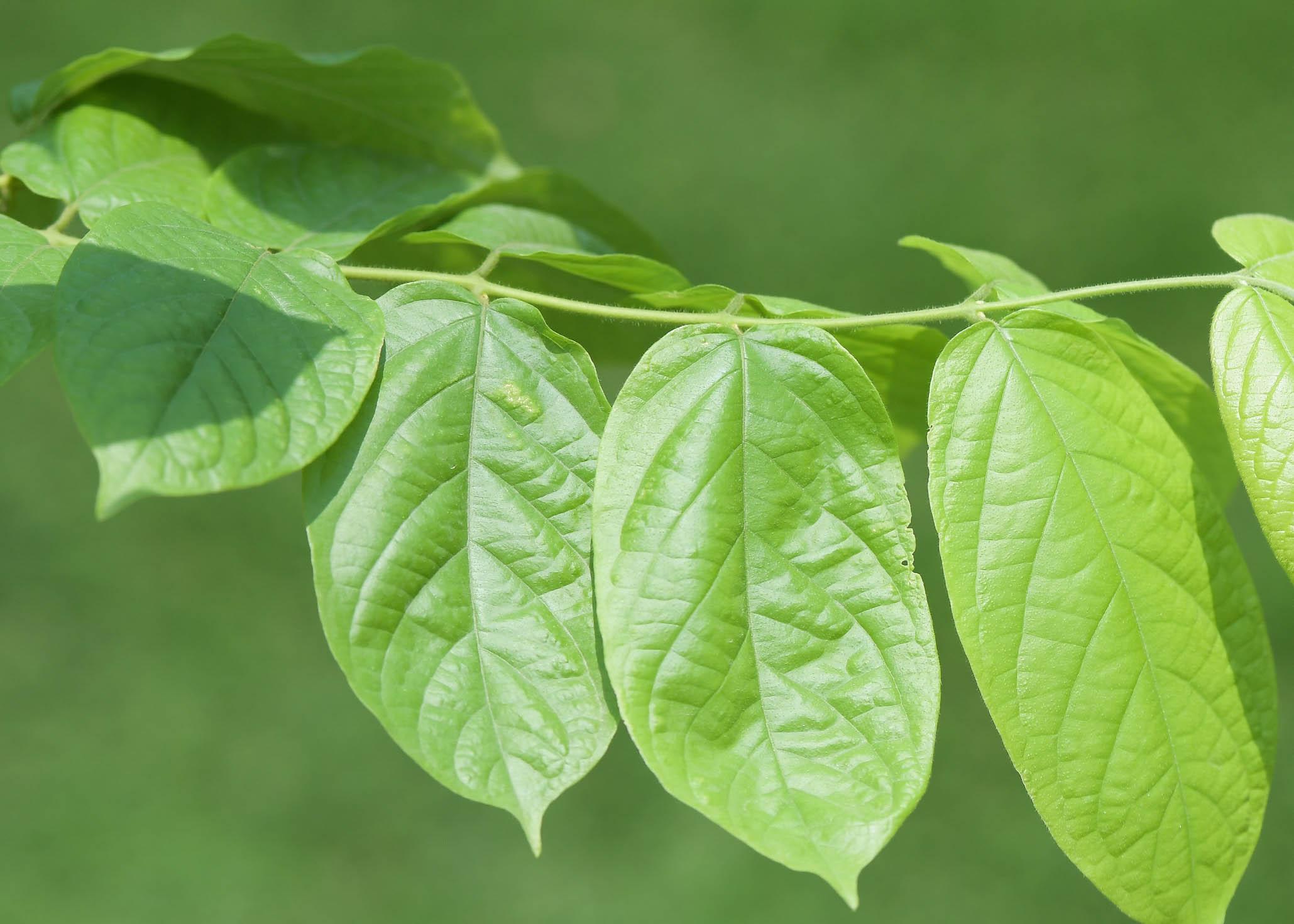 رانغون الزاحف نباتات خارجية النباتات المزهرة