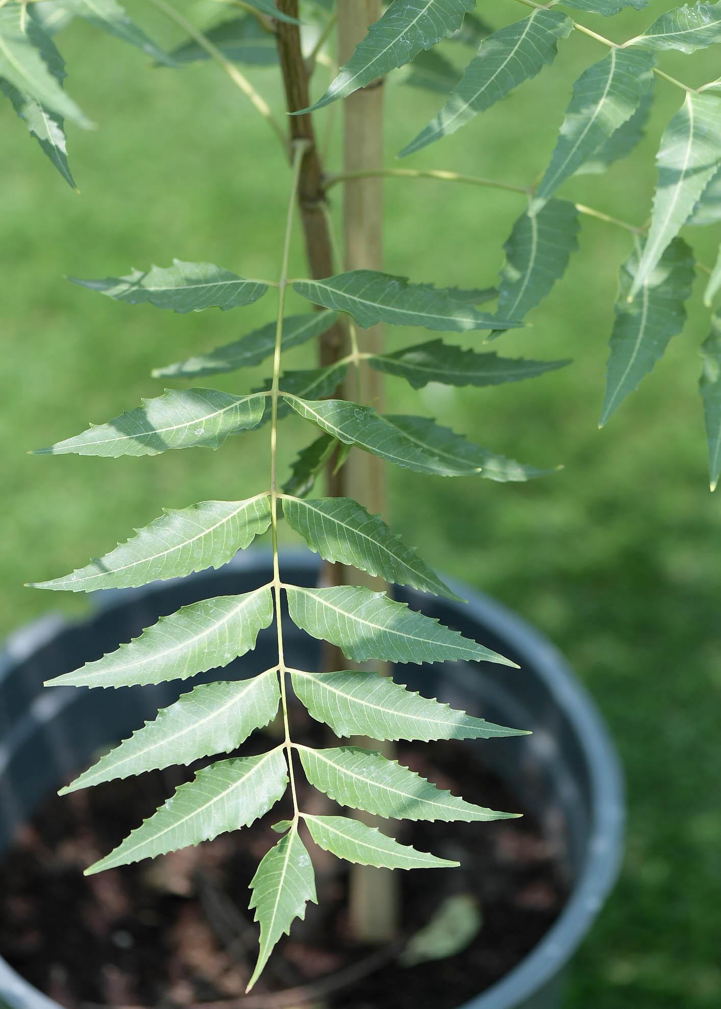 Neem Outdoor Plants Herbs