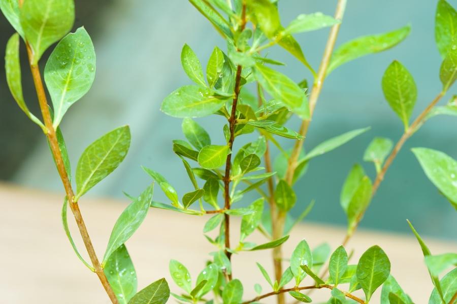 حنة نباتات خارجية أعشاب