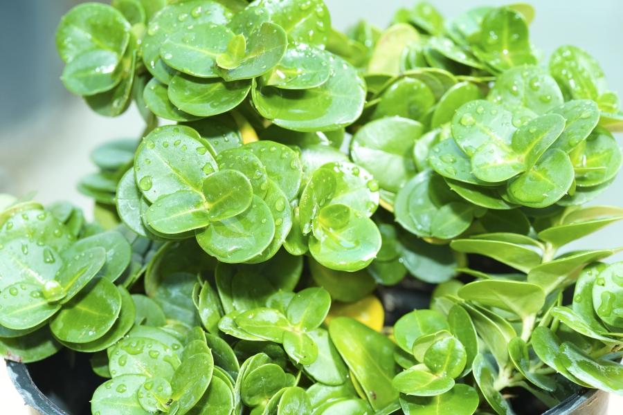 كاريسا البقس نباتات خارجية شجيرات