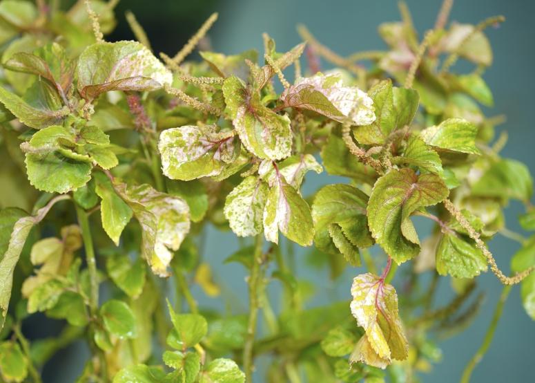 أكاليفا نباتات خارجية شجيرات