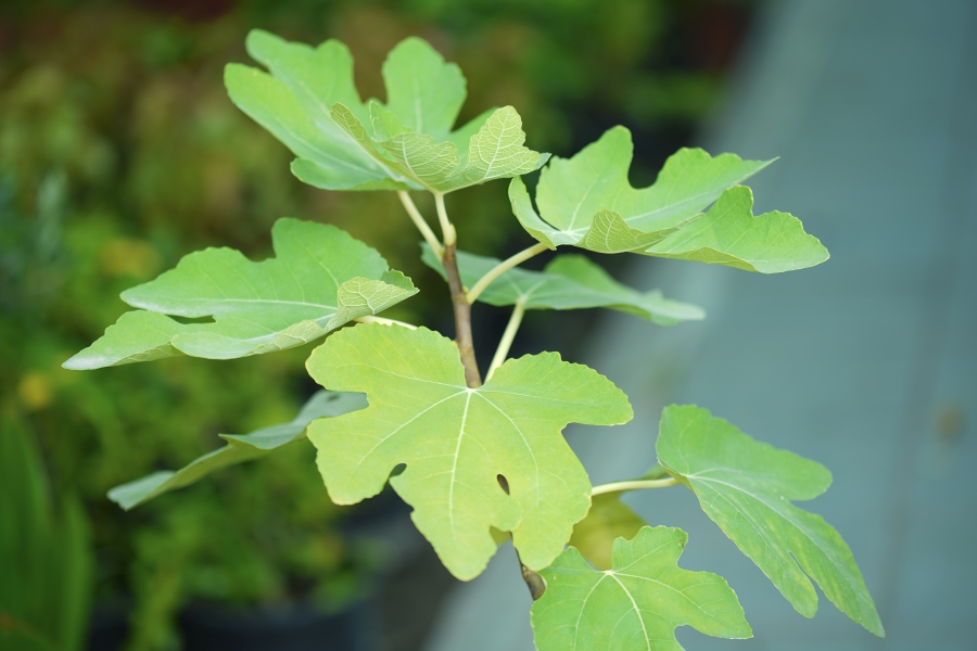 Fig Carica Outdoor Plants Fruit Plants