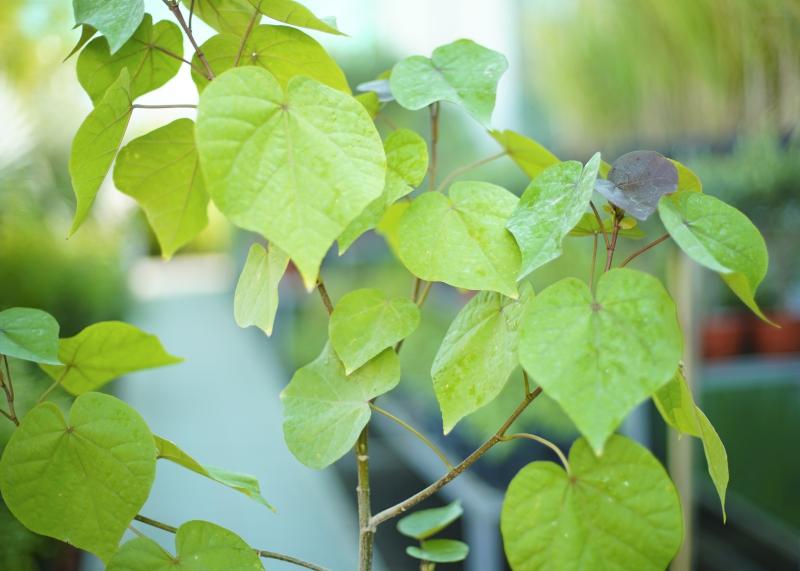 كركديه 'نباتات خارجية النباتات المزهرة