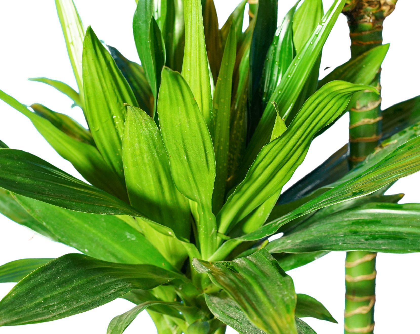 دراسينا كومباكتا نباتات داخلية شجيرات