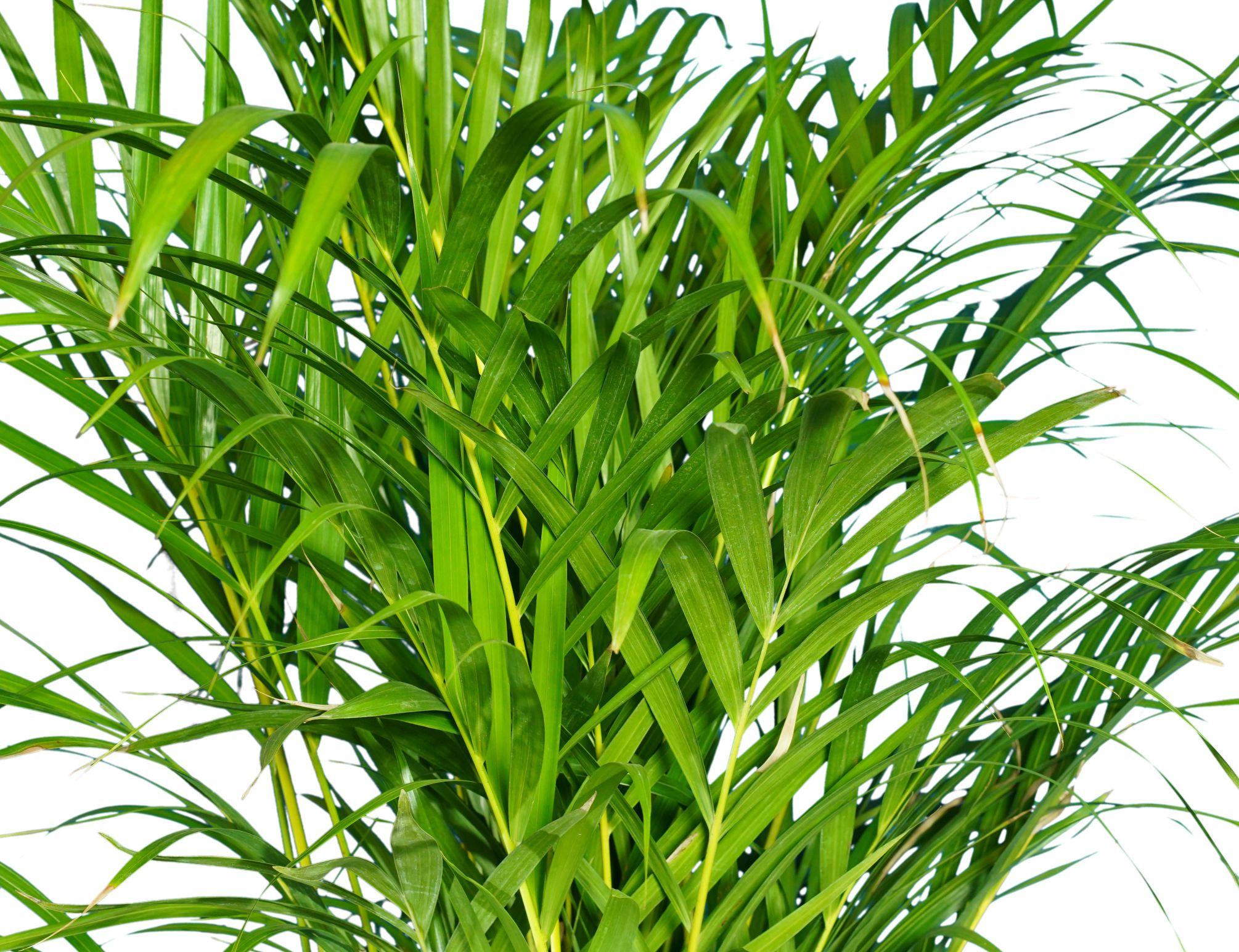 أريكا  نباتات داخلية أشجار