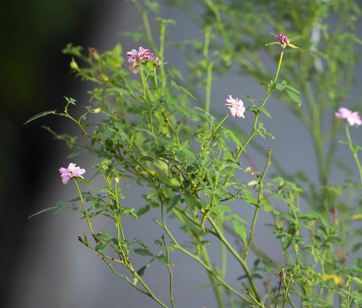 ورد صيني  'نباتات خارجية النباتات المزهرة