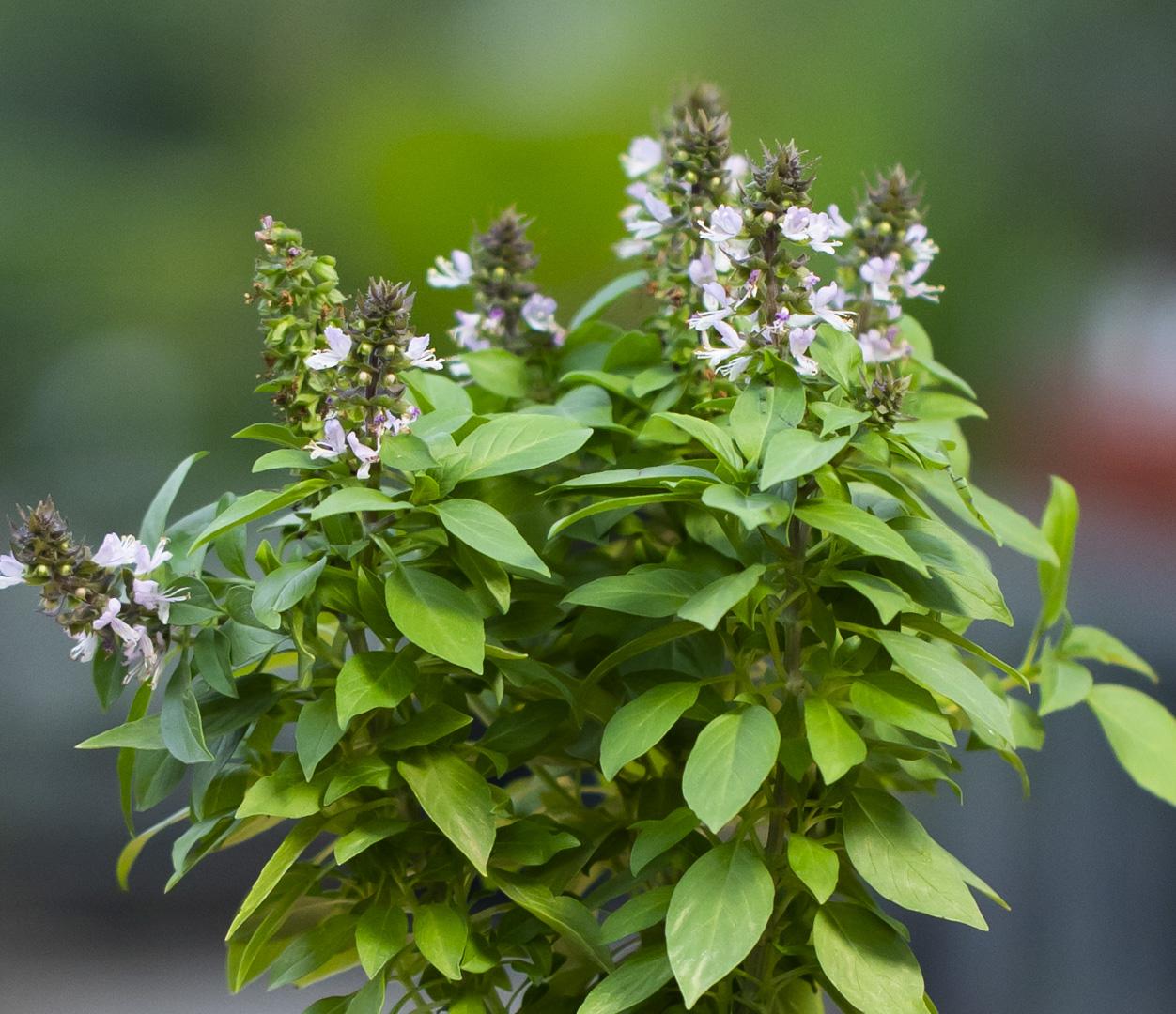 ريحان عربي نباتات خارجية أعشاب