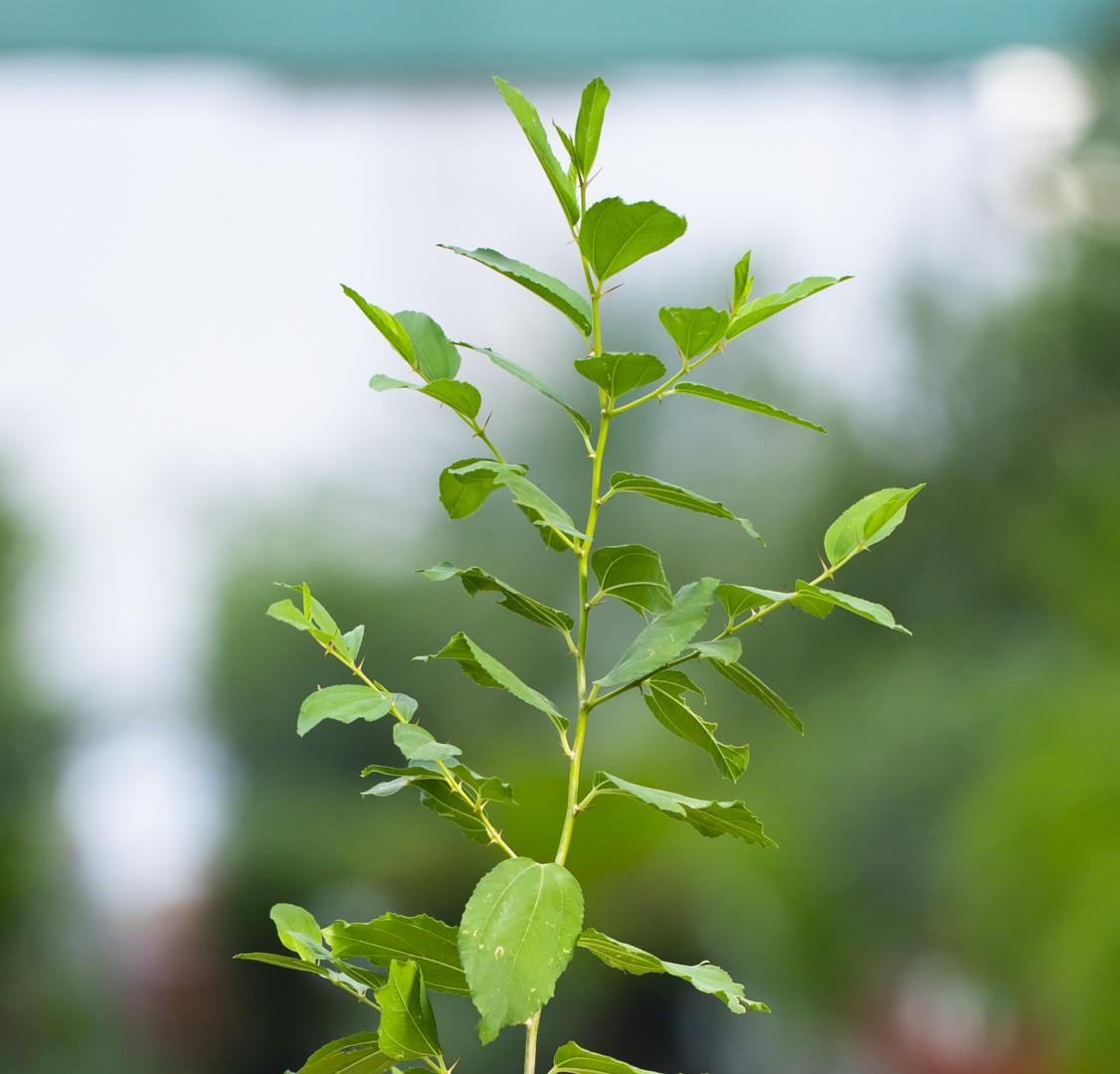 Kinar Outdoor Plants Fruit Plants