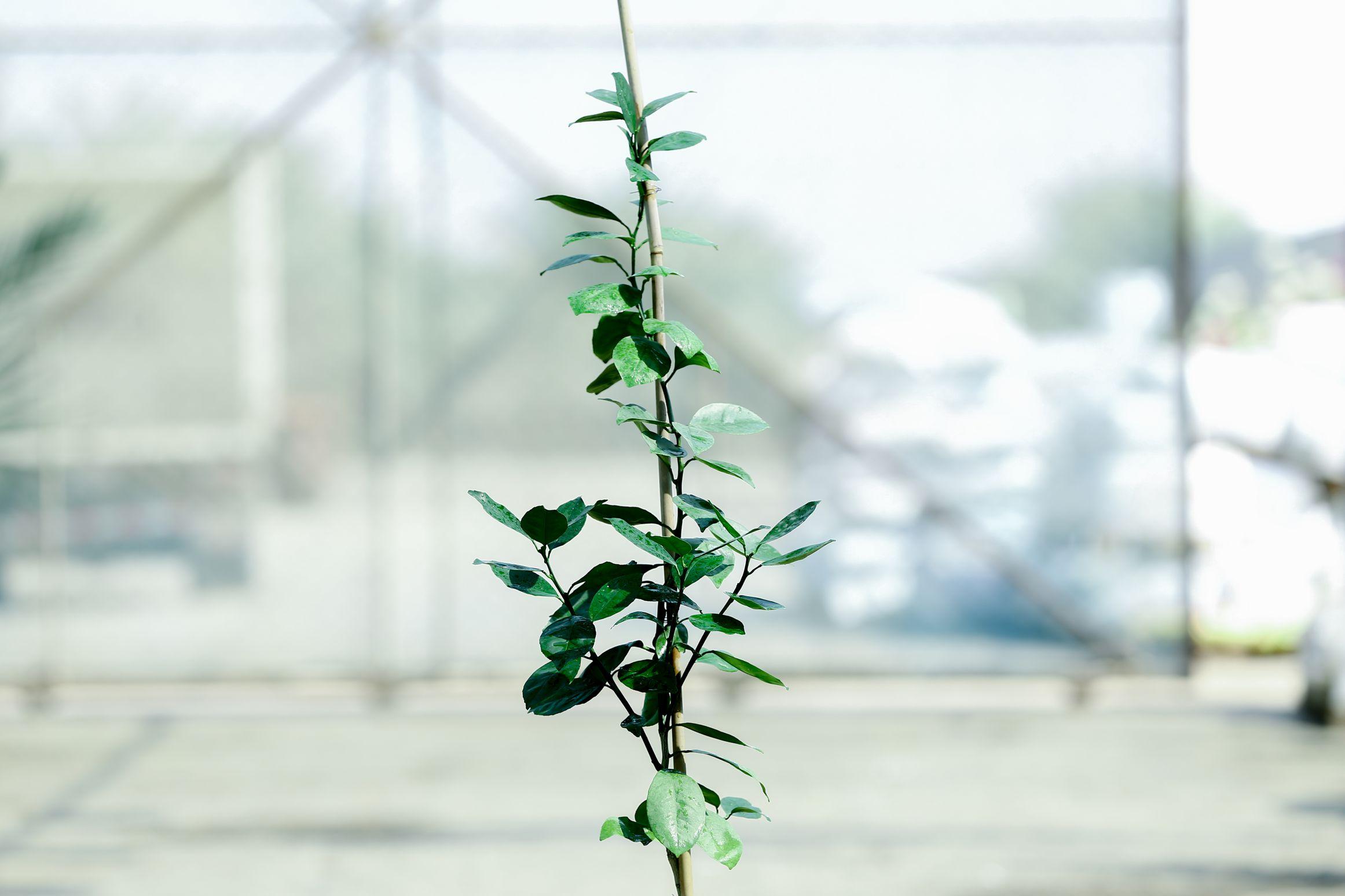 Orange Washingtonia Navel 'Outdoor Plants Fruit Plants