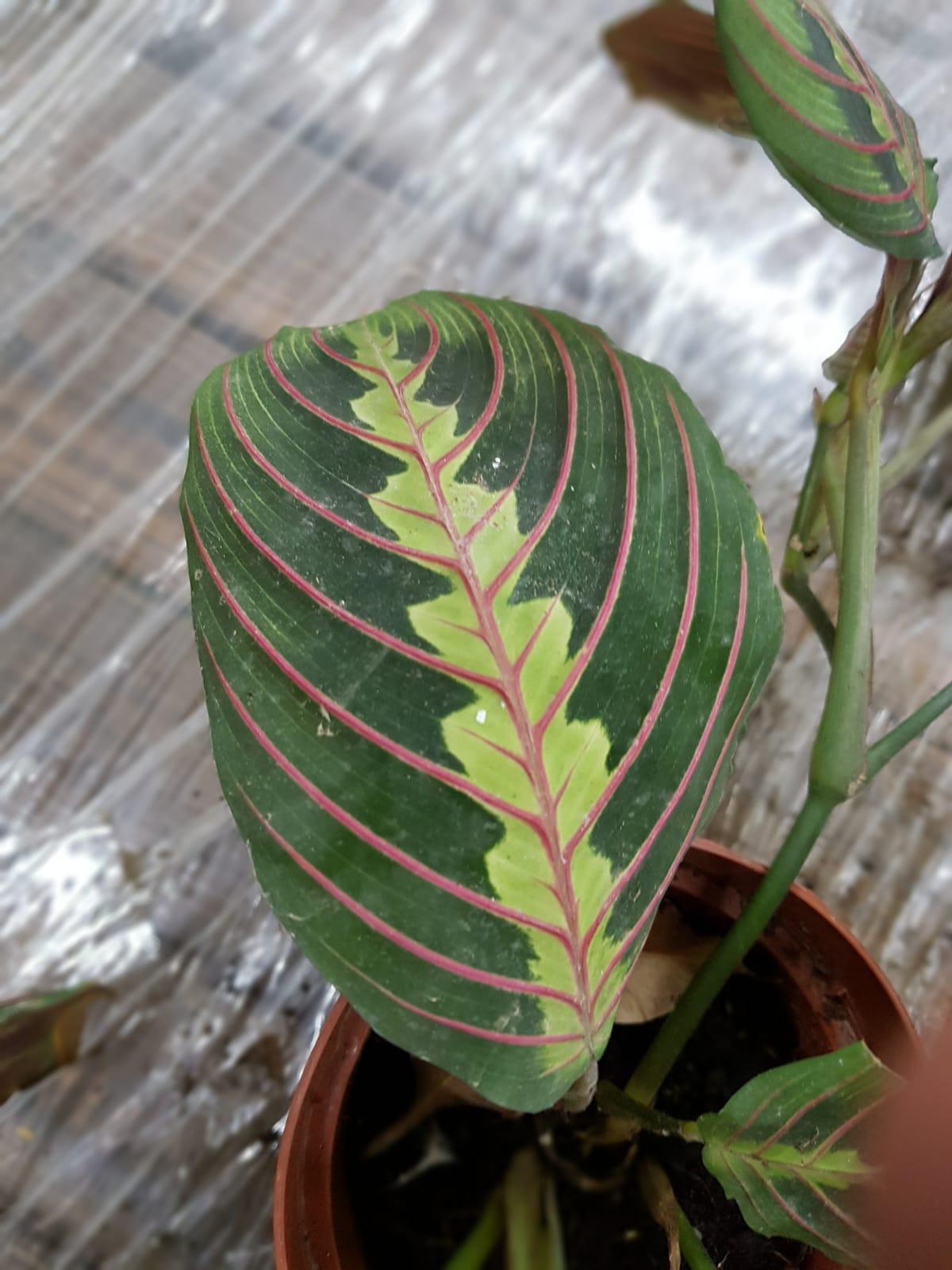 Maranta Leuconeura 'Indoor Plants Shrubs