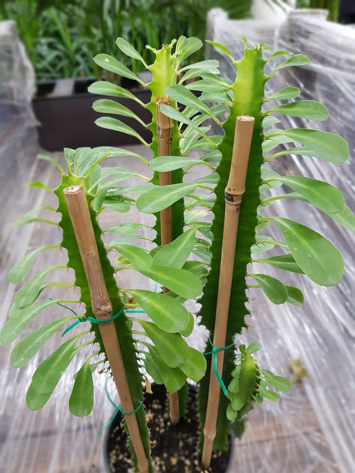 Bamboo Cane 120cm 10pc Gardening Accessories Bamboos