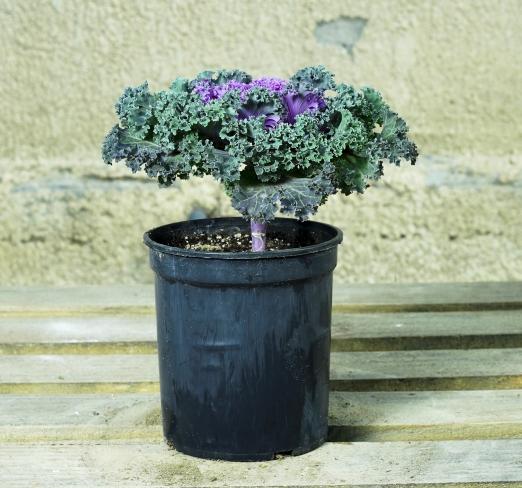 Brassica Outdoor Plants Flowering Plants