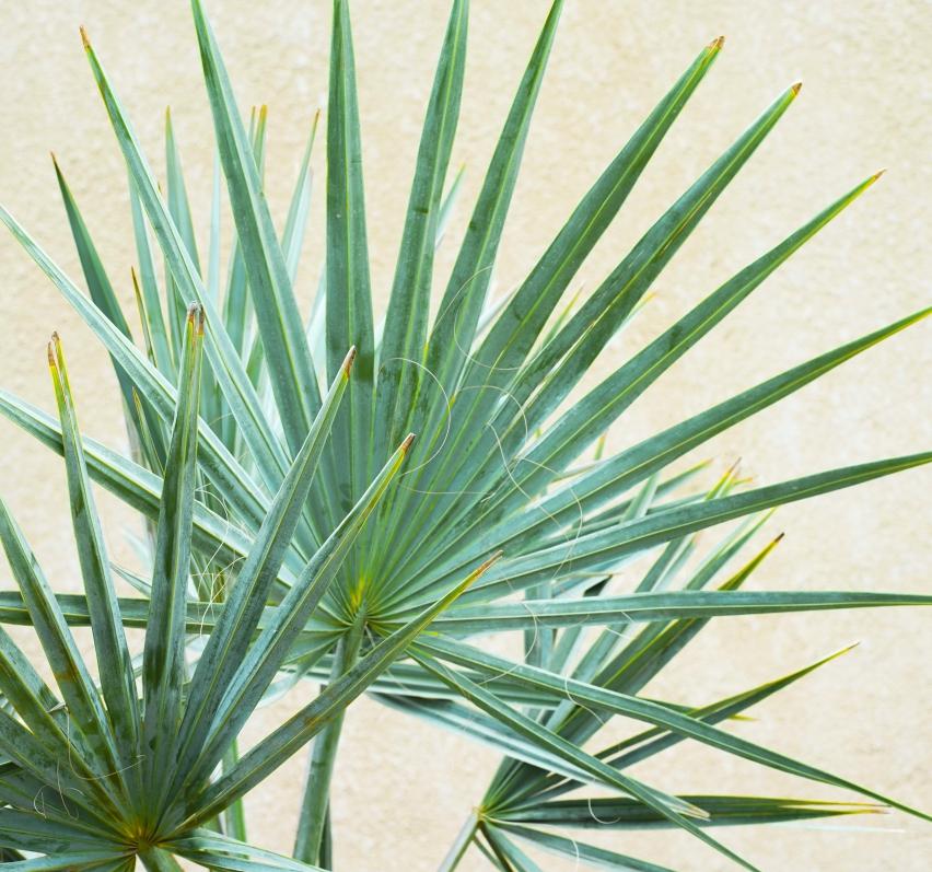 بسماركيا 'نباتات خارجية نباتات النخيل