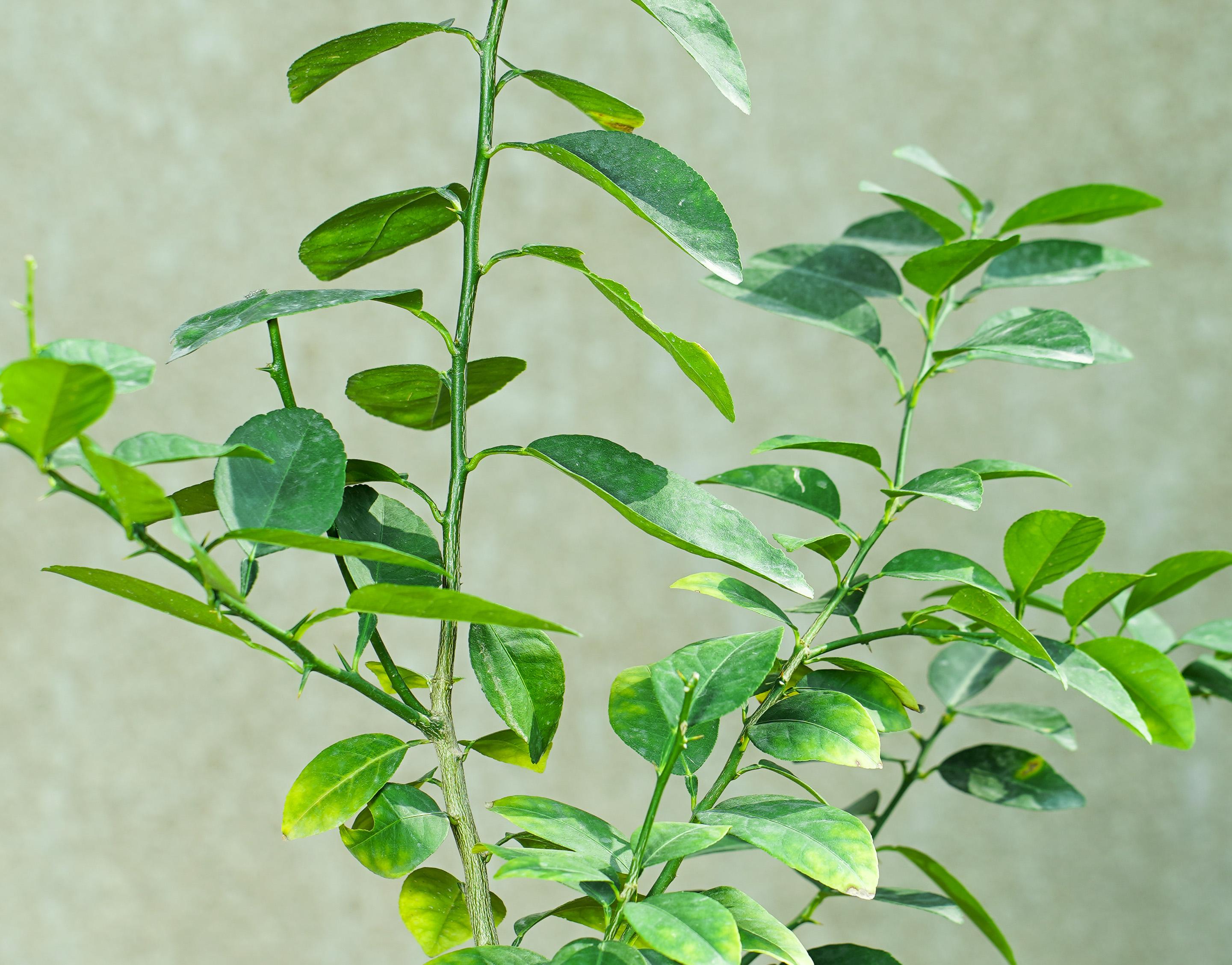 Mexican Lemon Outdoor Plants Fruit Plants