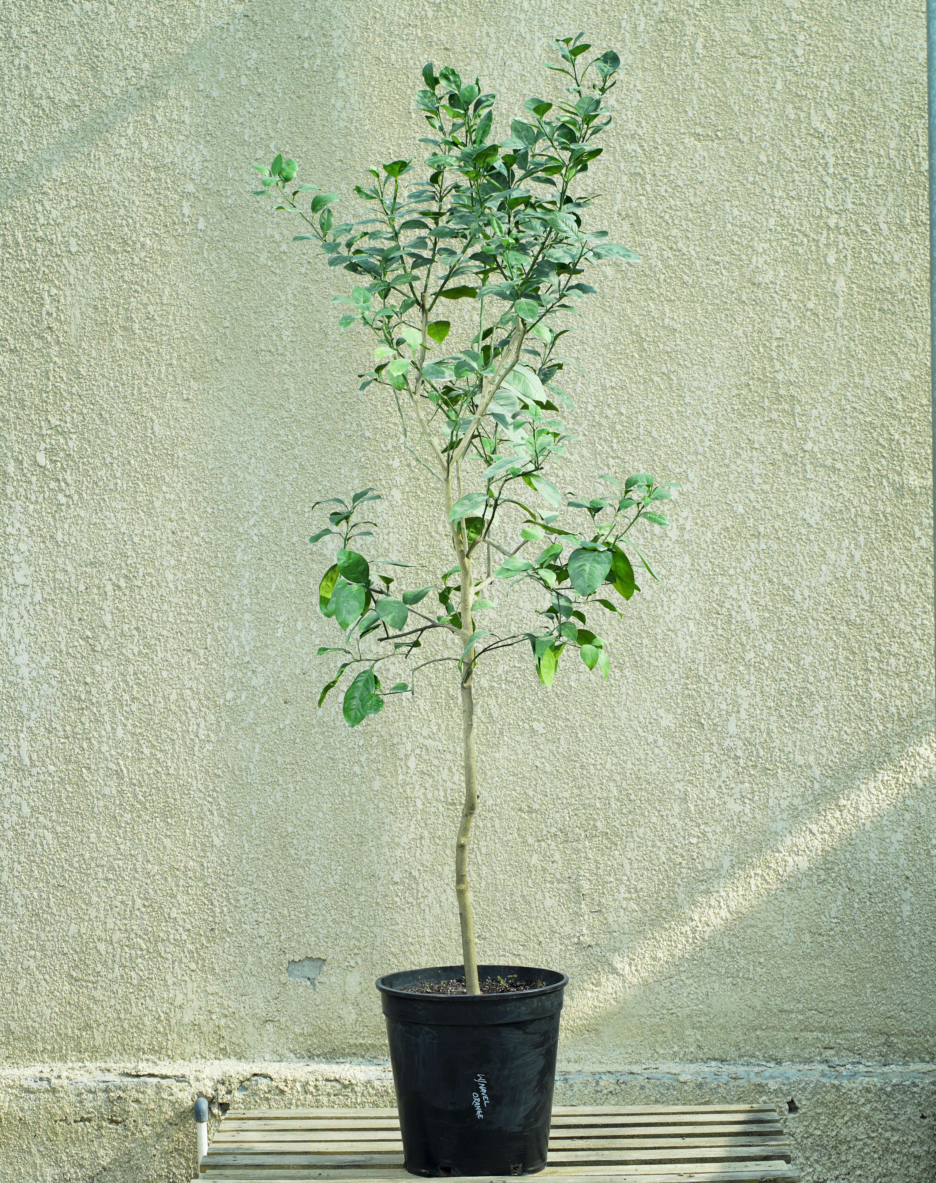 برتقال أبو سرة  نباتات خارجية نباتات الفاكهة