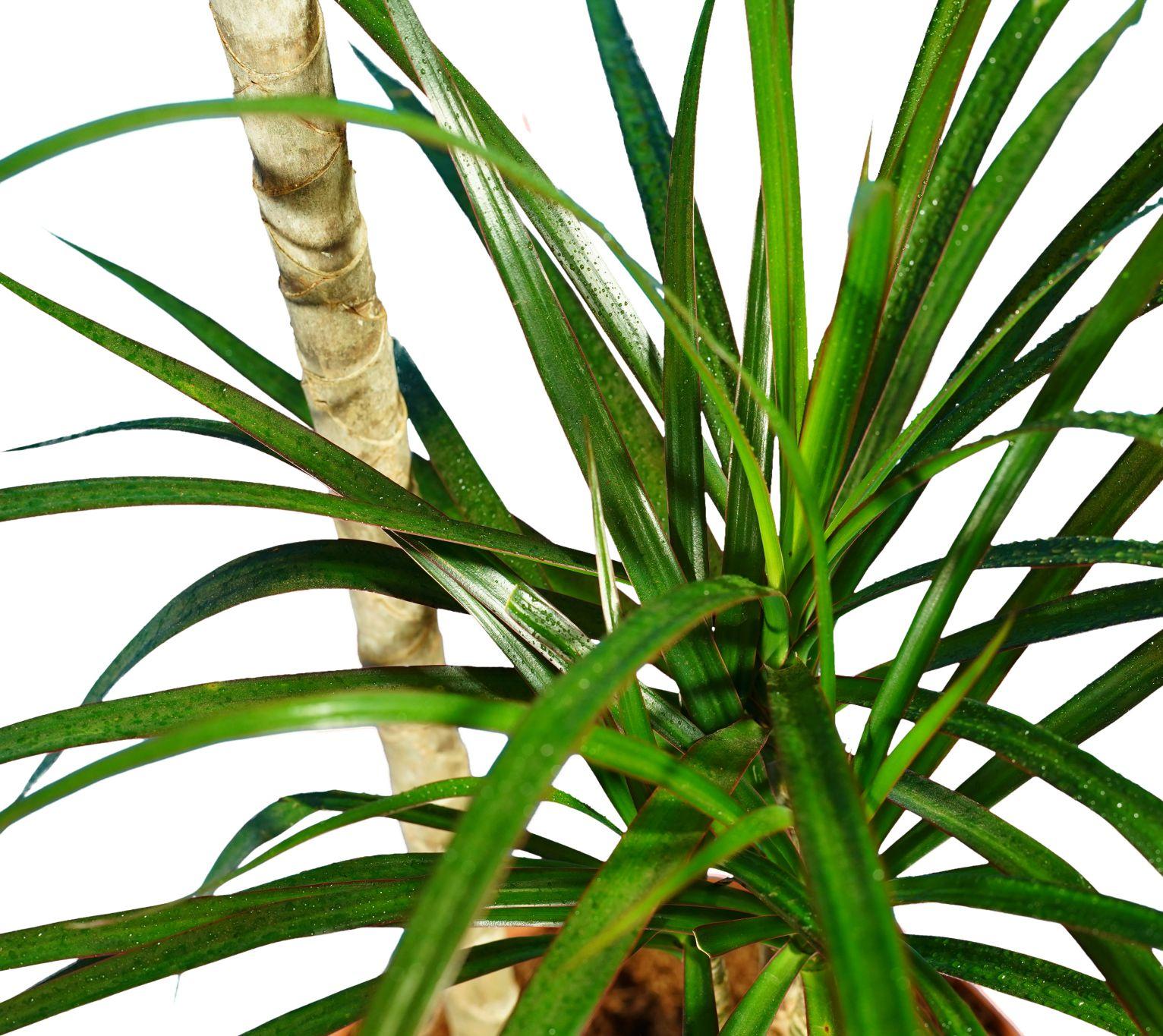 الخيزران مارجيناتا نباتات داخلية شجيرات