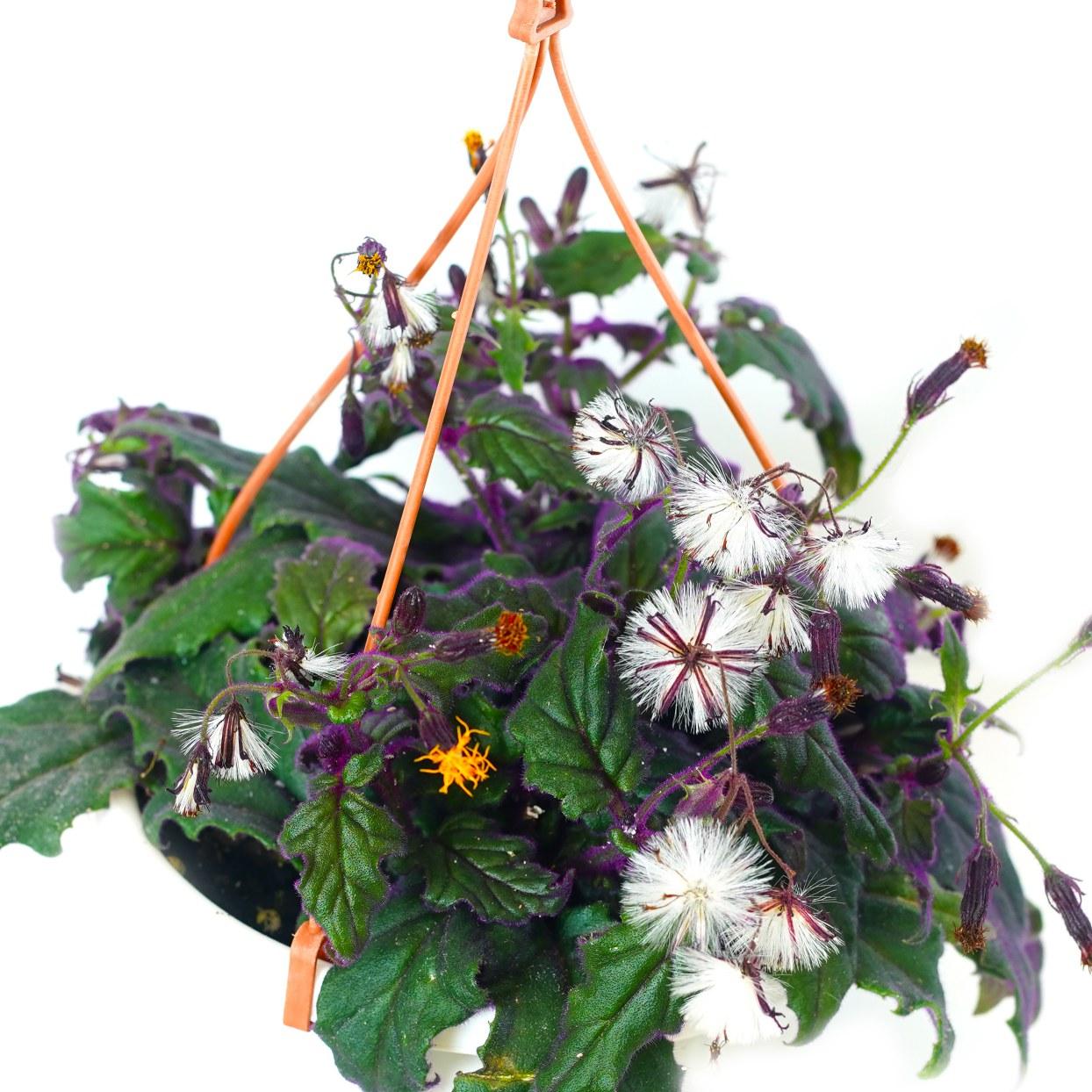 Gynura 'Indoor Plants Hanging