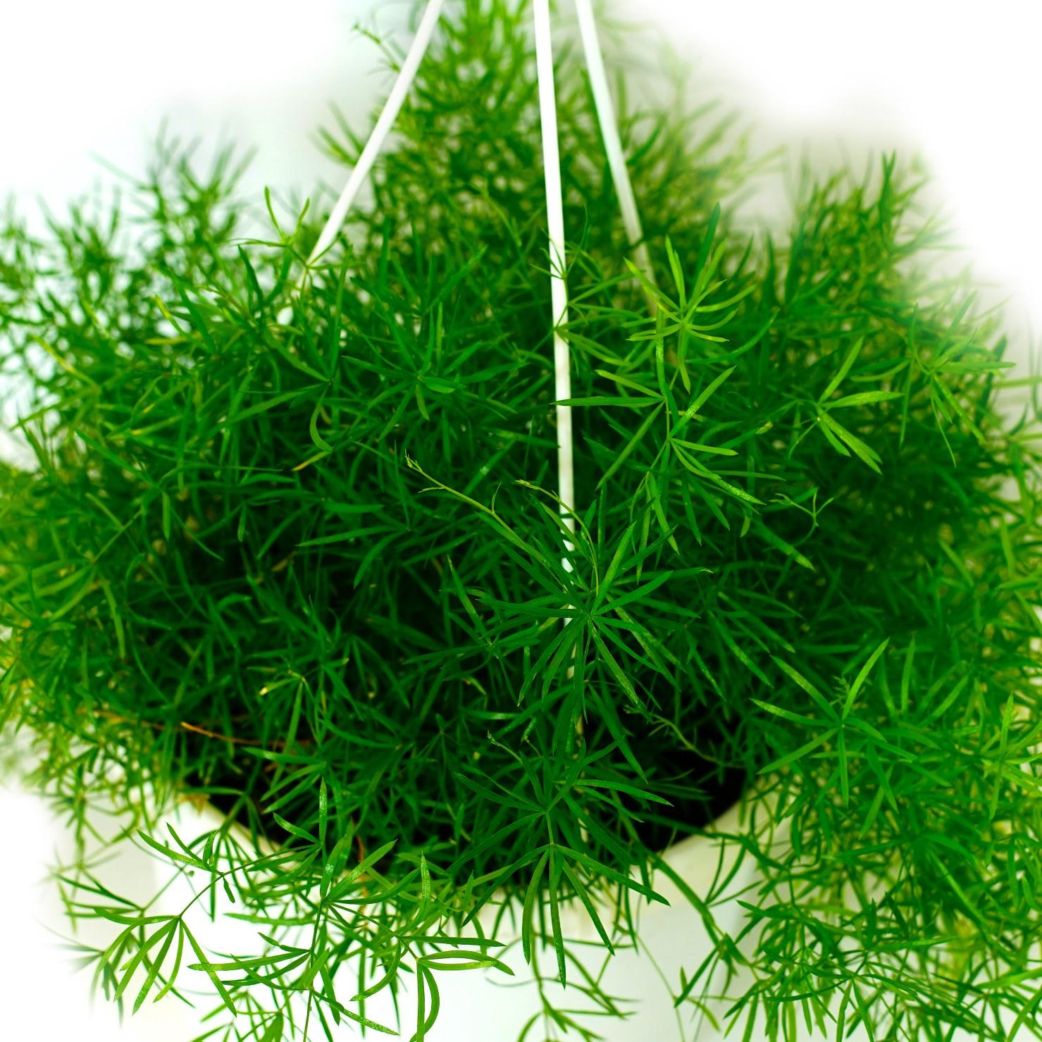 Sprengeri Asparagus Indoor Plants Hanging