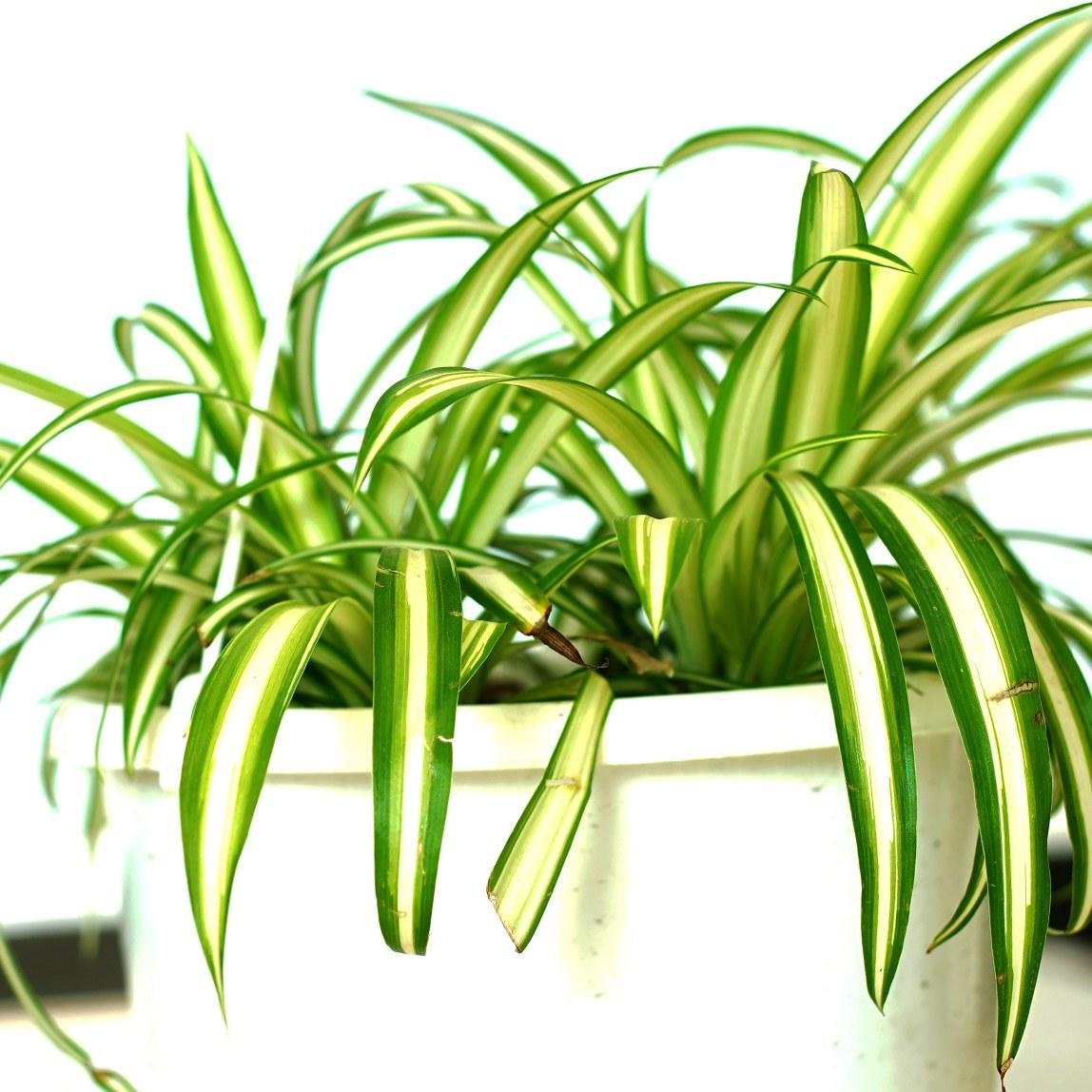 Chlorophytum Comosum Vittatum Indoor Plants Hanging