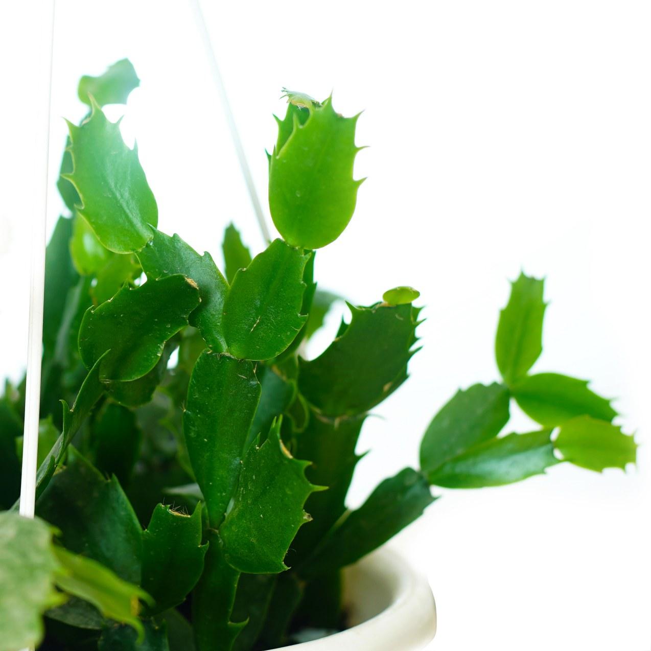 Schlumbergera Bridgesii Indoor Plants Hanging