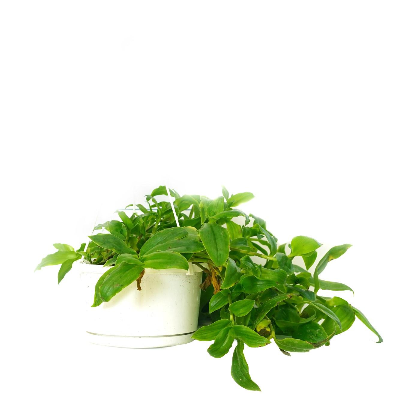 ترادسكانتيا أندرسونيانا 'نباتات داخلية معلقة