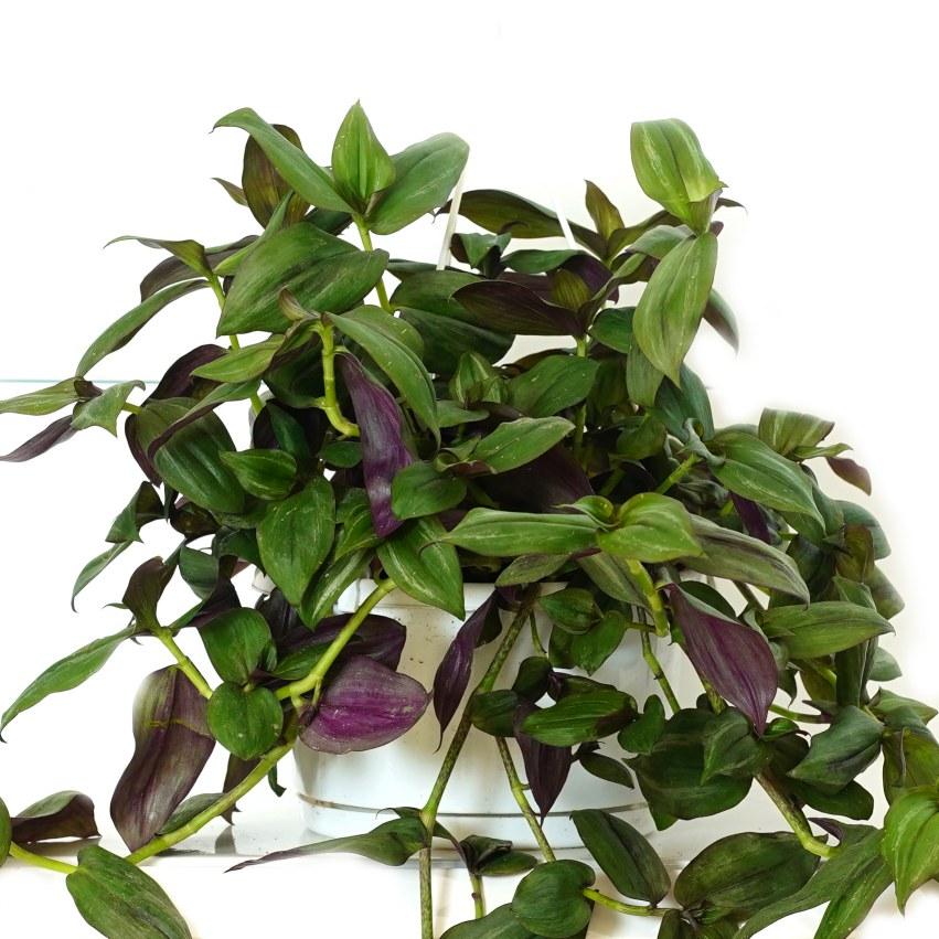 ترادسكانتيا جرين هيل 'نباتات داخلية معلقة