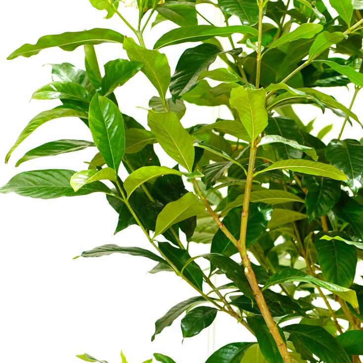 Gardenia 'Outdoor Plants Flowering Plants