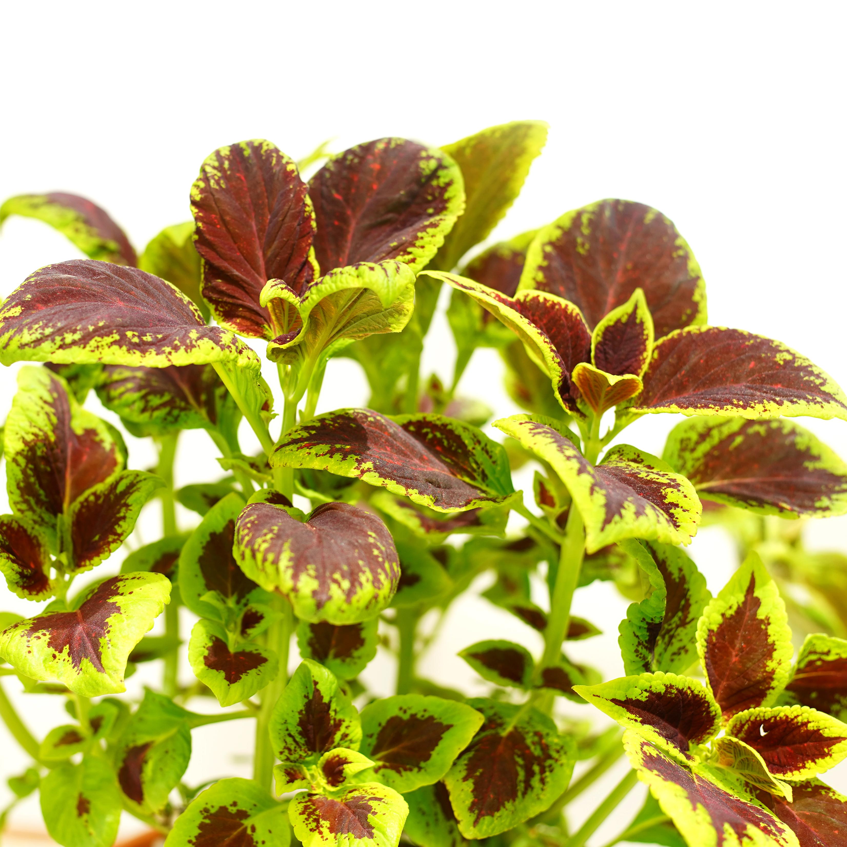 كوليوس 'نباتات داخلية شجيرات