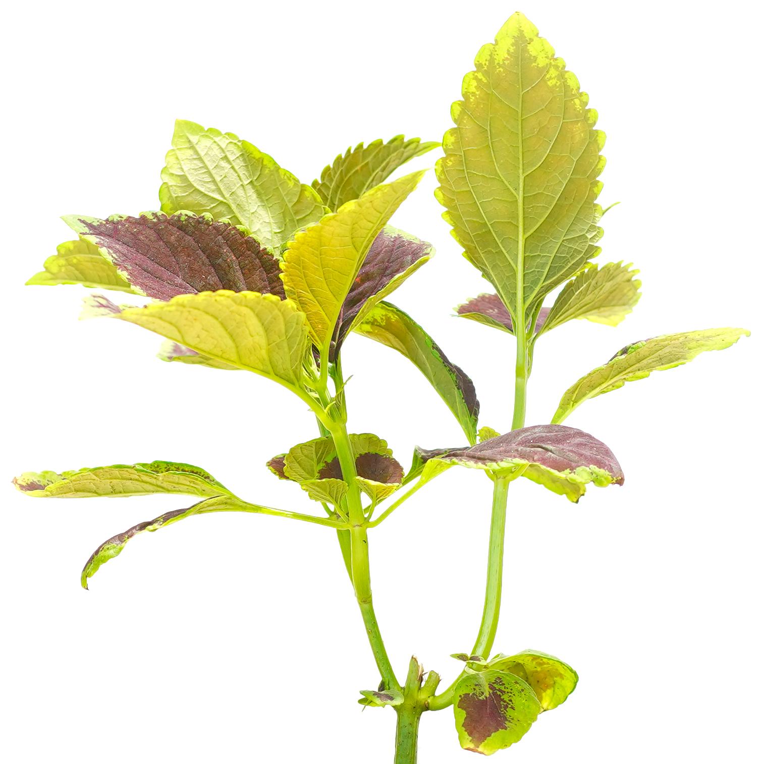 Coleus , Mix paper color Indoor Plants Shrubs