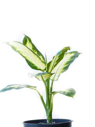 نبات الدفنبخيا كاميلا نباتات داخلية شجيرات
