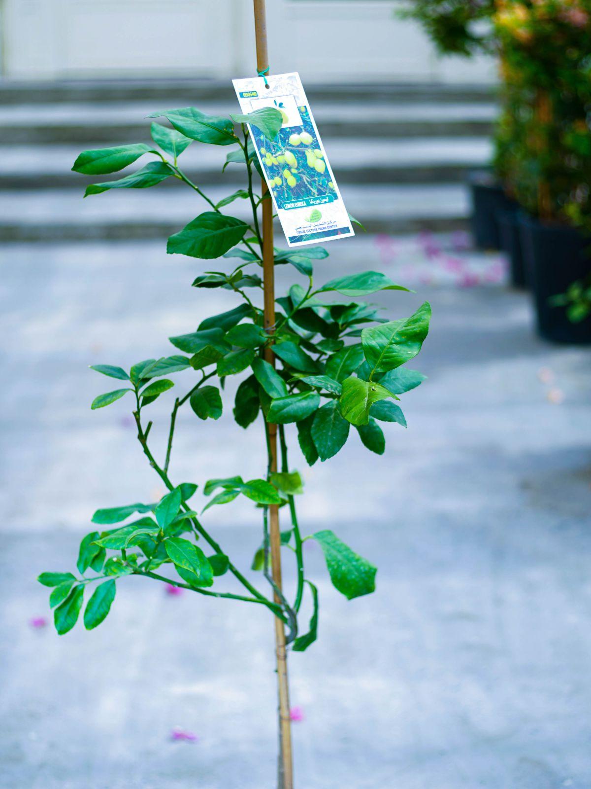 يوريكا ليمون نباتات خارجية نباتات الفاكهة