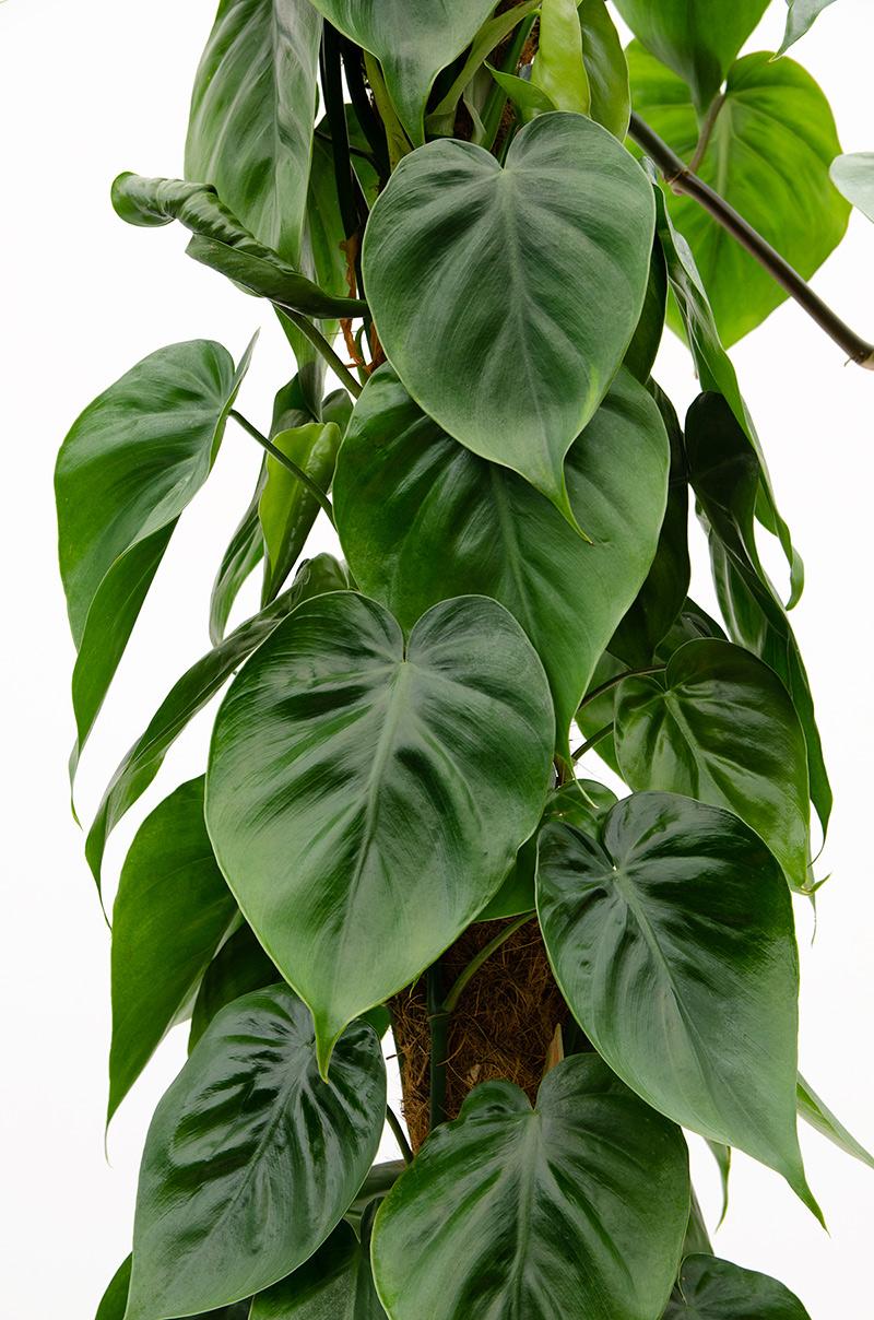 فيلودندرون نباتات داخلية شجيرات
