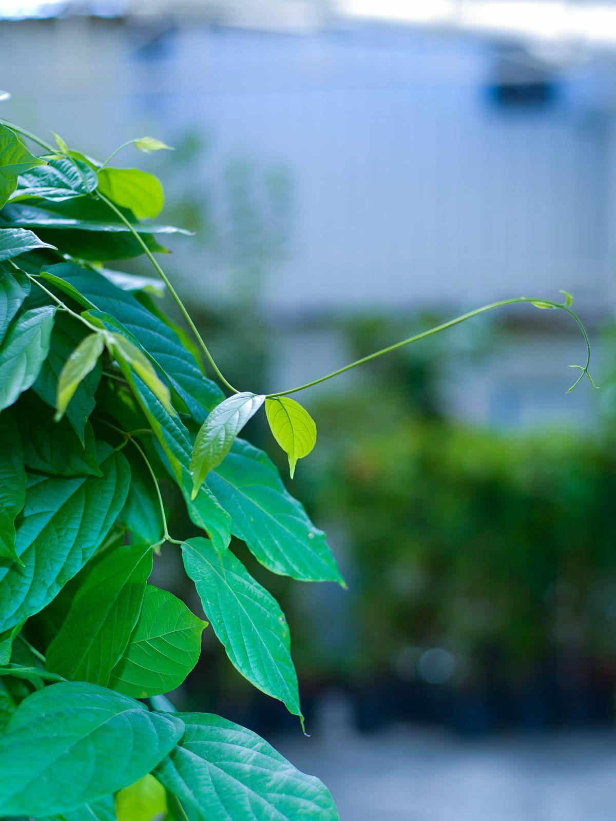 Rangoon Creeper-Jasmine Outdoor Plants Flowering Plants