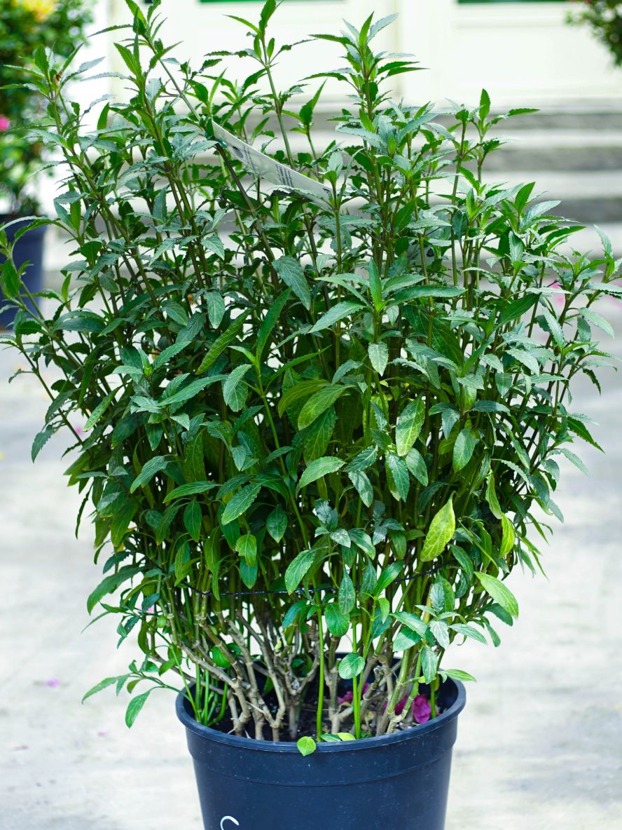 Browallia Speciosa P40 Outdoor Plants Flowering Plants