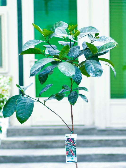 Tree Coffee Outdoor Plants Trees
