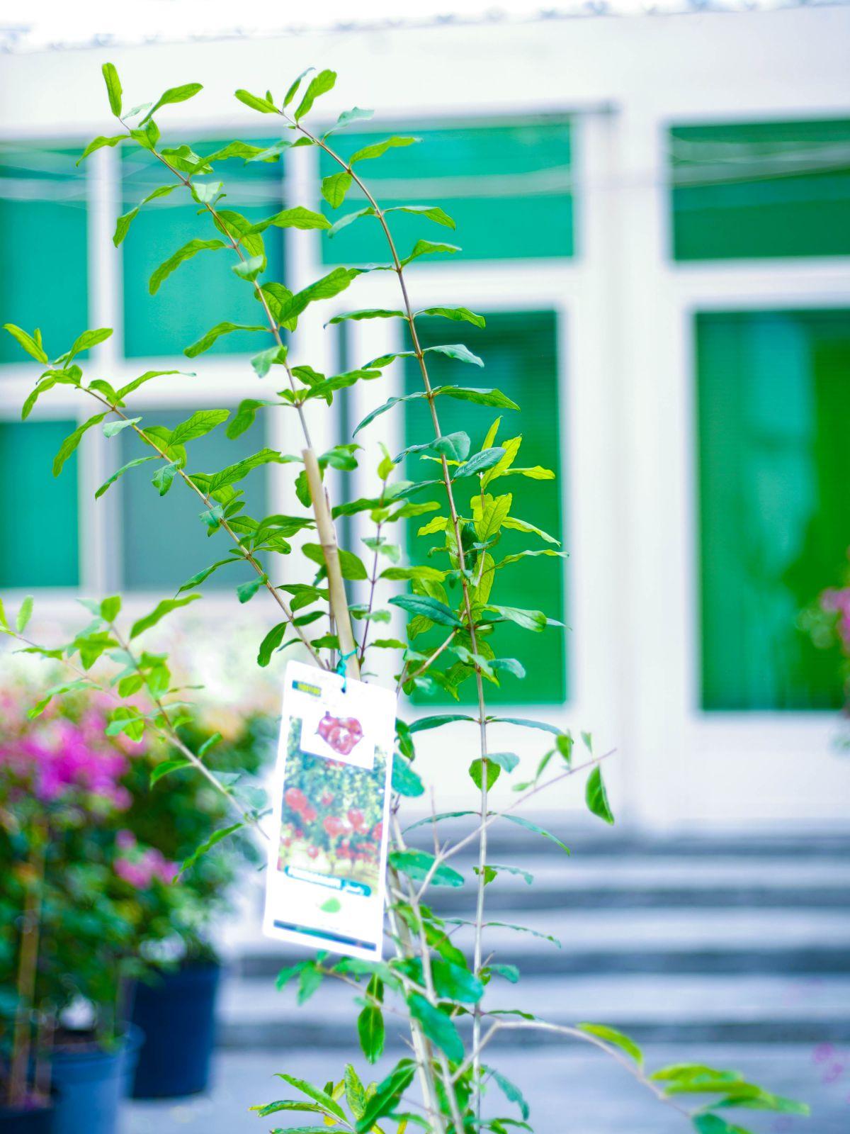 Pomegranate Outdoor Plants Fruit Plants