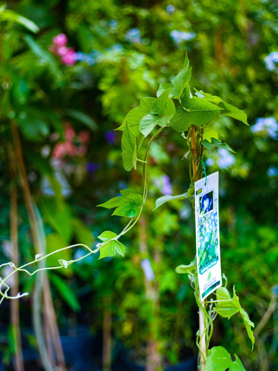 Ipomoea Purpurea 'Outdoor Plants Flowering Plants