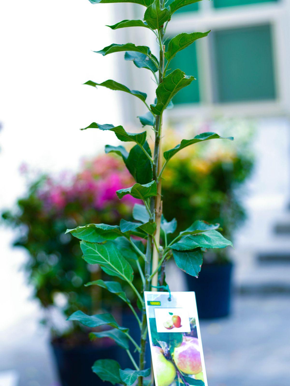 Apple 'Outdoor Plants Fruit Plants