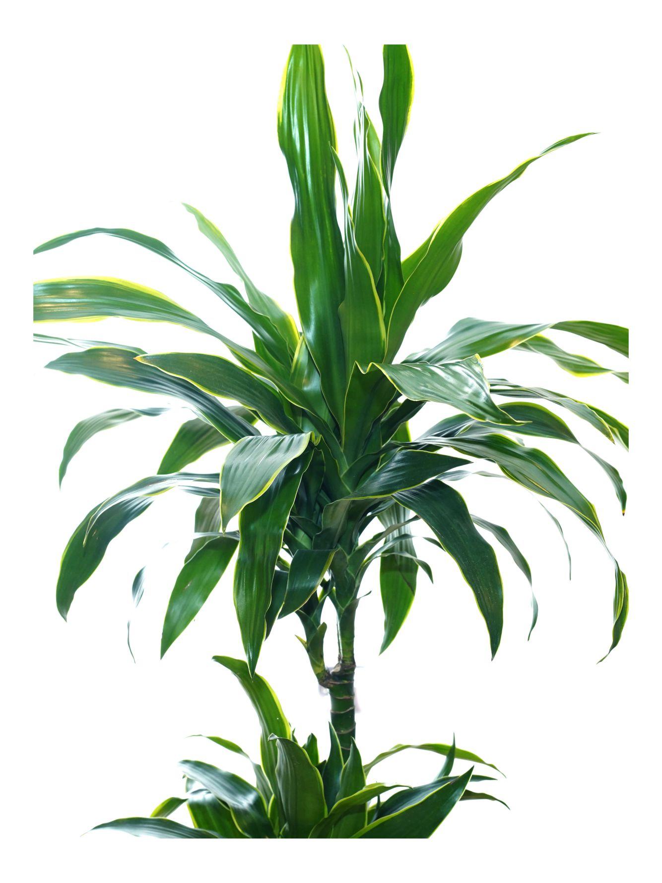 Dracaena J. Craig BLACK POT Indoor Plants Shrubs
