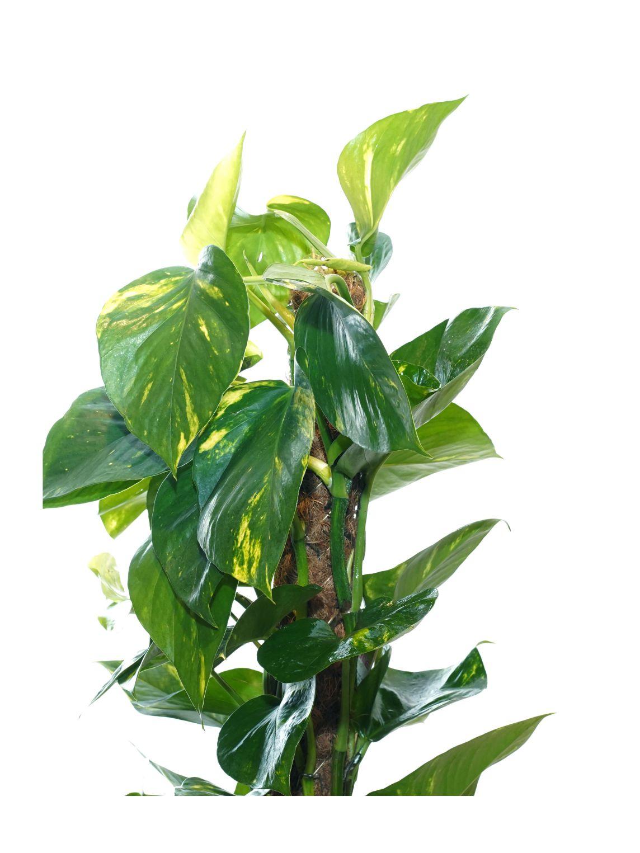 ايبريمنيوم أوريوم نباتات داخلية شجيرات