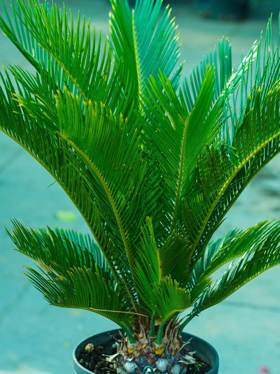 سيكاس ريفولوتا 'نباتات خارجية اشجار