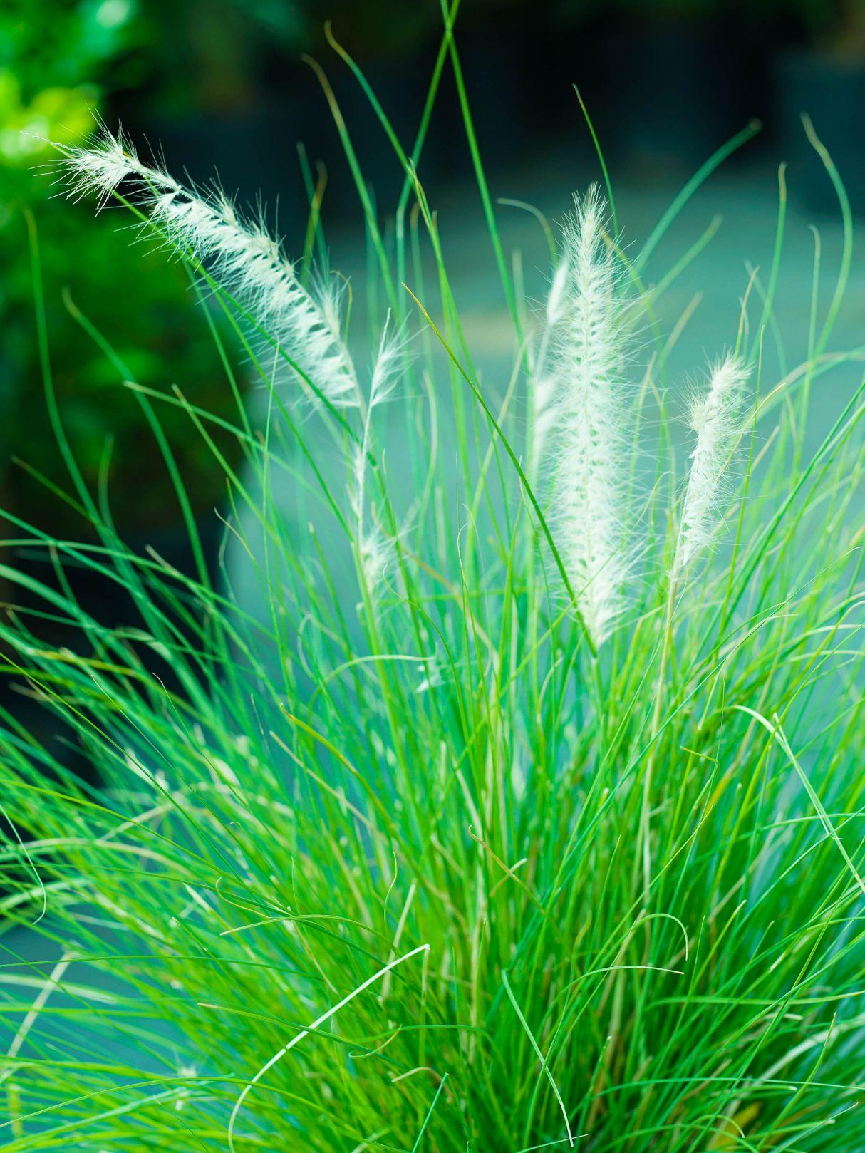 بننسيتوم ساتيسم 'نباتات خارجية شجيرات