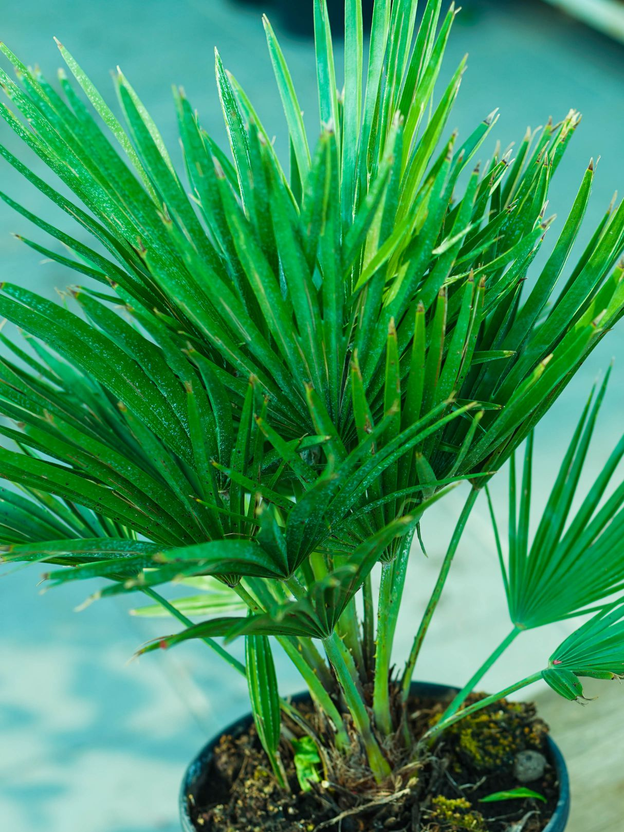 Chamaerops Humilis S Outdoor Plants Trees