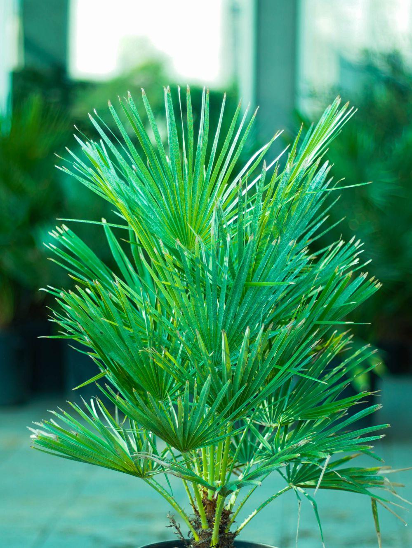 تشاميروبس هوميليس 'نباتات خارجية اشجار