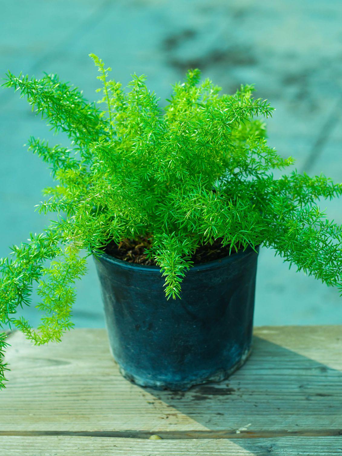 اسبراجوس الليوم نباتات خارجية شجيرات