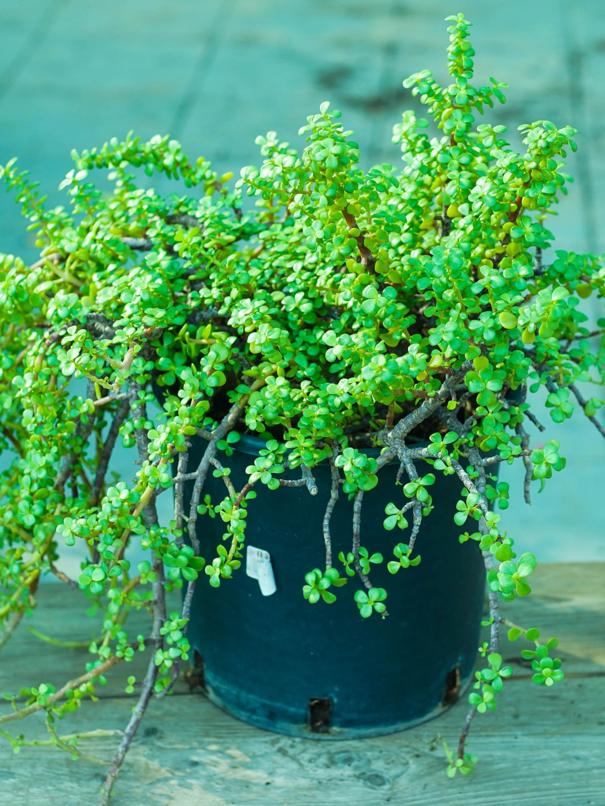 Portulacaria Afra Outdoor Plants Shrubs