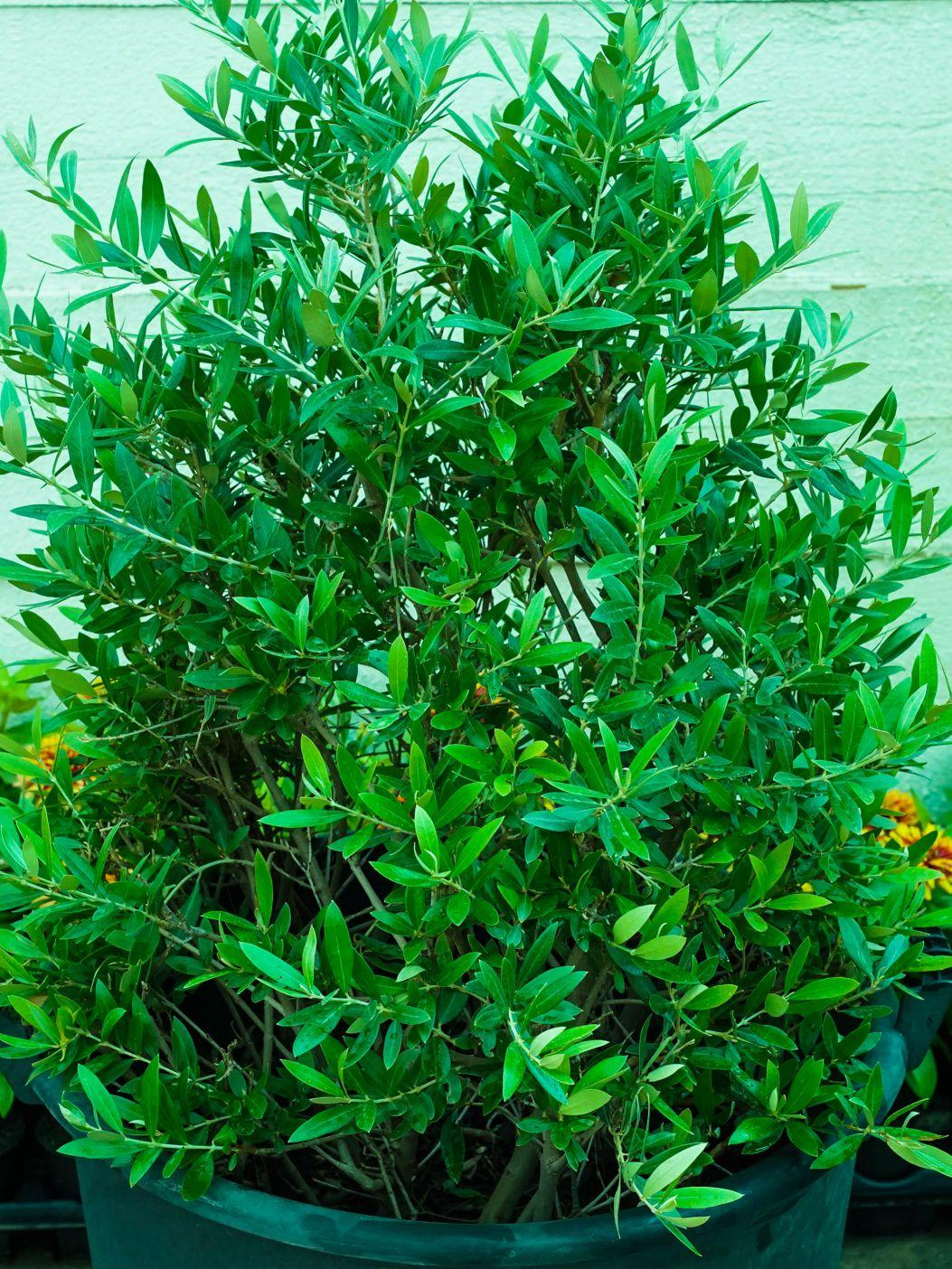 زيتون نباتات خارجية اشجار