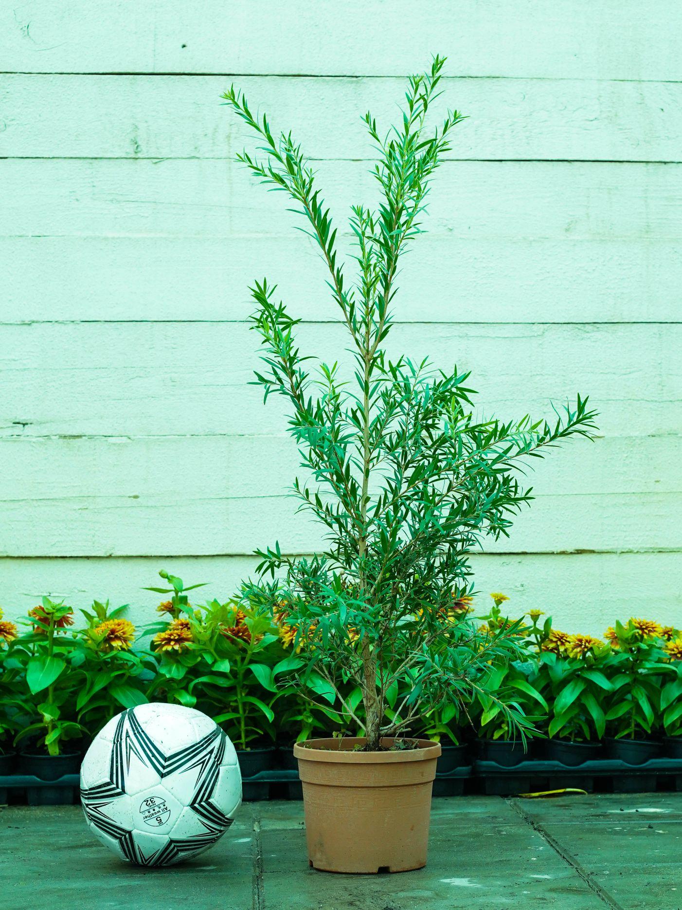 فرشه الزجاج نباتات خارجية شجيرات