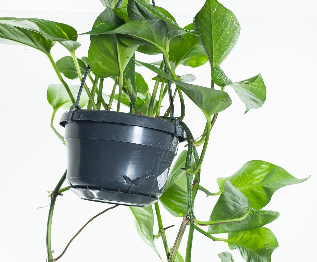 ايبريمنيوم أوريوم للتعليق نباتات داخلية معلقة