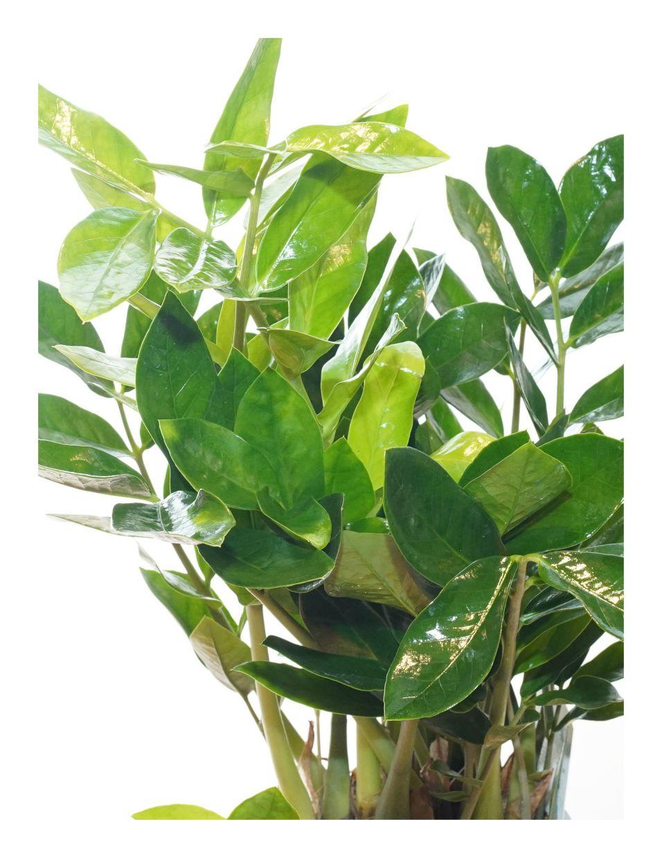 نبتة الزاميا 'نباتات داخلية شجيرات